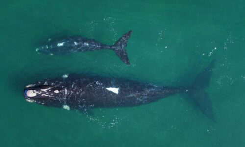 Climate change: Extreme weather could slow recovery of southern right whales